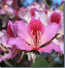 Bauhinia blakeana tree flower